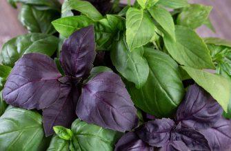 базилик фиолетовый и зеленый